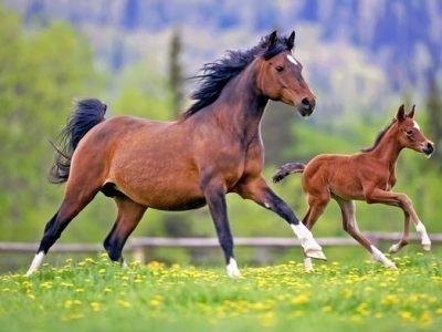 Гнедая лошадь с жеребенком - сонник