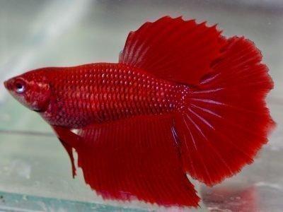 Сонник - красная рыбка