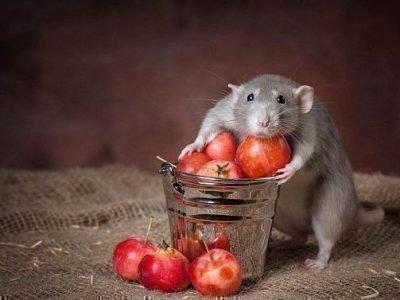 Красивая крыса приснилась