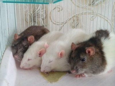 К чему прислилось много крыс