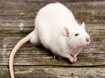 Белая крыса приснилась женщине