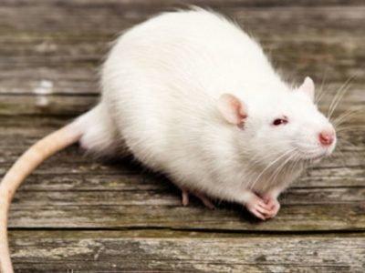 К чему снятся белые мыши и крысы