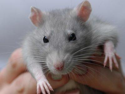 Крыса во сне - что означает