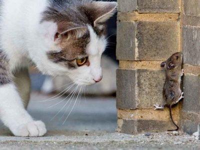 Кошка ловит мышь - значение сна