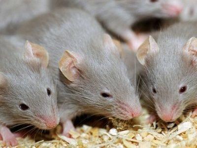 Красивые крысы во сне