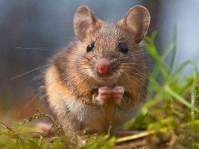 Толкование сна про мышек