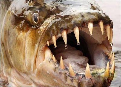К чему снится зубатая рыба кусает