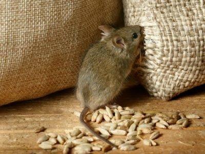 Мыши вредят - толкование сна