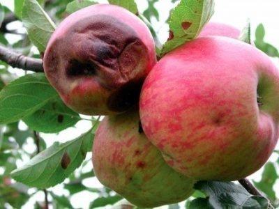 Собирать гнилые яблоки во сне - толкование