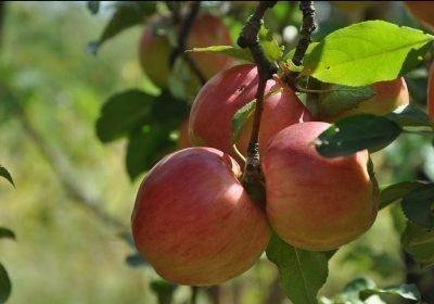 дни плодов