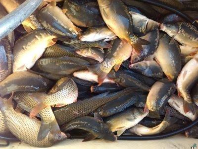 Продавать во сне свежую рыбу