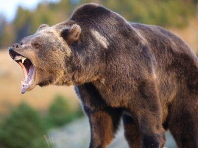 Агрессивный медведь во сне - толкование