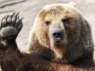Медведь во сне - что означает