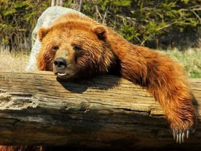 Сонник про медведя
