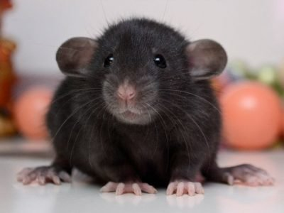 Крыса по гороскопу