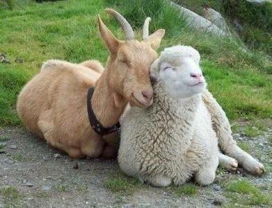 Коза (Овца) по гороскопу