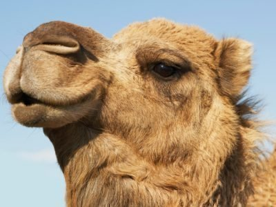 Толкование сна с верблюдом