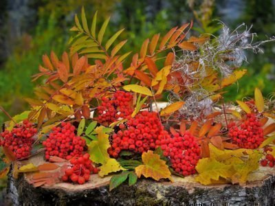 Красная рябина осенью
