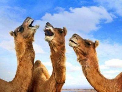 Агрессивные верблюды во сне