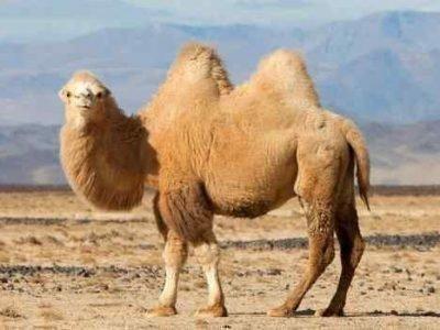 Приснился верблюд