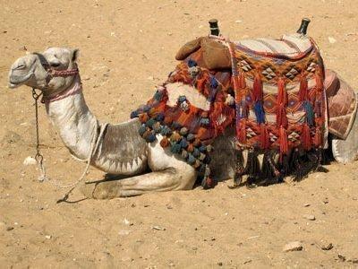 Толкование сне про верблюда