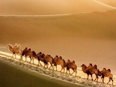 Много верблюдов во сне