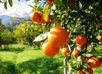 Апельсины на дереве во сне