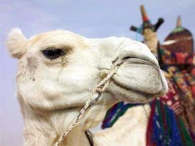 Белый верблюд во сне