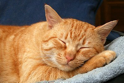 Рыжий кот во сне спит