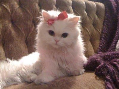 Красивый белый кот во сне