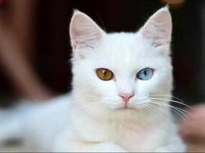 Сон про белую кошку с разноцветными глазами