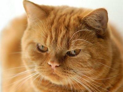 Толкование сна про рыжего кота