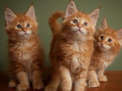Много рыжих кошек во сне - толкование