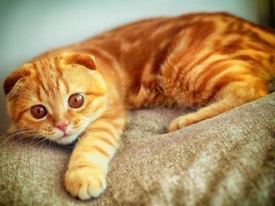 Рыжая кошка приснилась