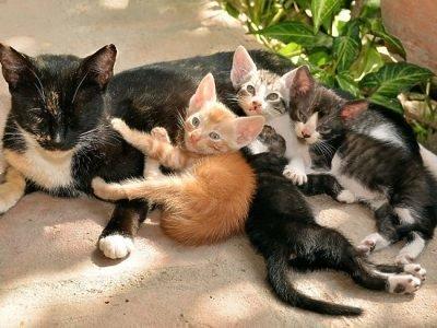 Сон про кошку с котятами