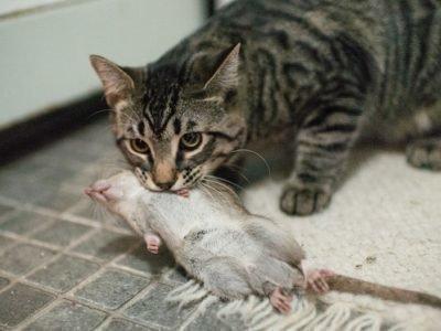 Толкование сна про крысу