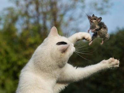 Белый кот ловит мышку во сне