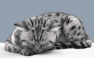 К чему убивать во сне кошку или видеть мертвого кота