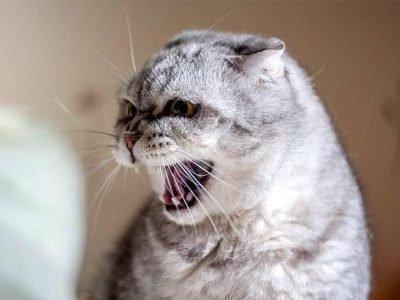 Агрессивный кот во сне
